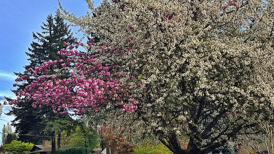 This tree is special as it appears to bloom in both pink & white flower. Low Angle View Backgrounds No People Tree Trees Tree Pink Blossom Treegasmic Tuesday Trees Collection Treetastic Tree Blossom Spring Trees White Blossoms Green Grass Multi Colored No People Multi Colored TreesMulti Colored Multi BYOPaper!