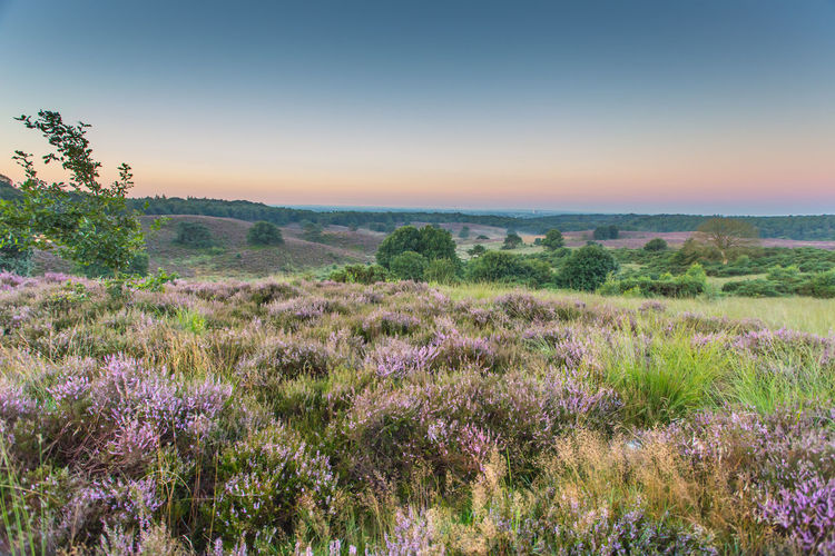 Sunrise on the Posbank Beauty In Nature Blooming Field Holland Landscape Nature No People Plant Purple Purple Heather Sky Sunrise Trees first eyeem photo