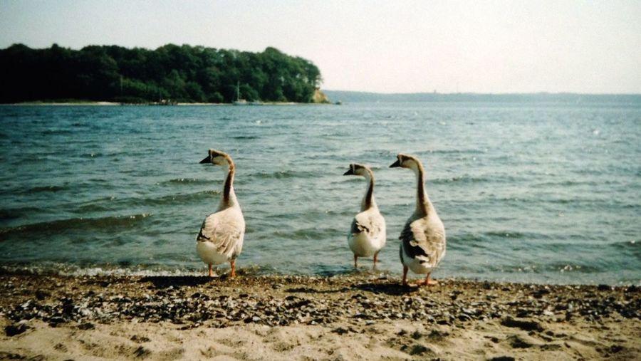 Eastern Sea Ochseninsel Flensburger Förde Ducks