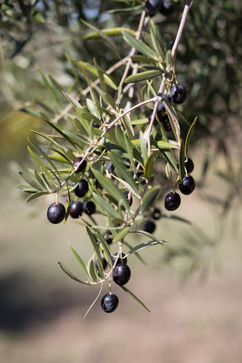 Black olives growing outdoors