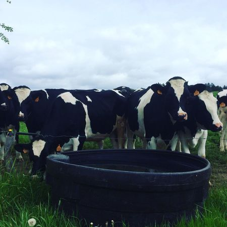 Cows just chilling Cows LaRoche Ardennes Belgium Field Grass Drinking Water