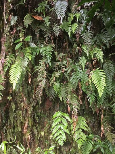 Dominica Beauty In Nature Day Fern Foliage Freshness Frond Full Frame Green Green Color Growth Leaf Nature No People Outdoors Plant Tree