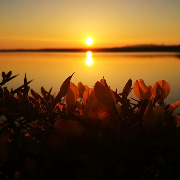 Sunset Orange Color Beauty In Nature Nature Scenics Reflection Sea Tranquil Scene Tranquility Freshness Plant Romantic Sky Outdoors Idyllic Water Yellow Gorse Flowers Flower Head Close-up Beauty In Nature Sky Nature Flower