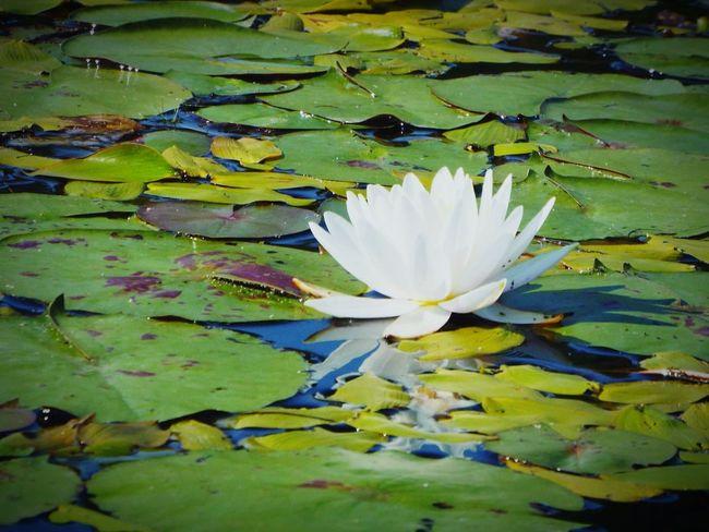 Lilly Waterlily Nature Algonquin Park Algonquinprovincialpark