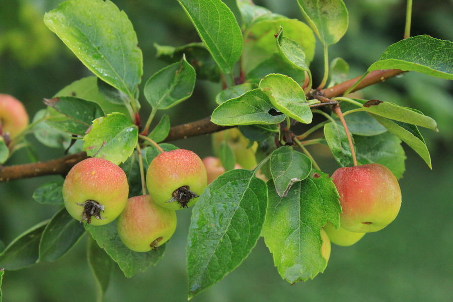 Apples Close-up Daylight Freshness Fruit Tree Garden Love Green Green Green!  Growth Healthy Eating Leaves No People Outdoors Outdoor Photography Pink Small Apple