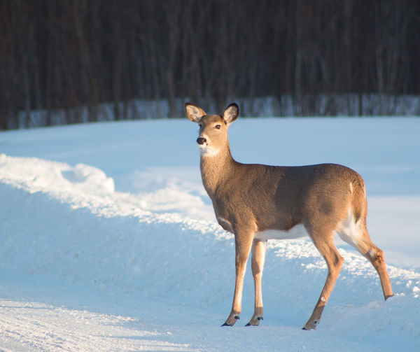 Close-Up Of Deer Standing On Snow Covered Field