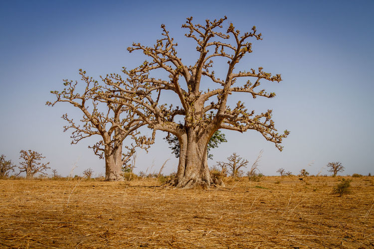 Massive baobab trees in the dry arid savanah of south west Senegal. Travel Travel Photography Africa African Safari Baobab Baobab Trees Bare Tree Beauty In Nature Branch Day Field Grass Isolated Landscape Lone Nature No People Outdoors Scenery Scenics Senegal Tranquil Scene Tranquility Tree Tree Trunk The Week On EyeEm Lost In The Landscape Connected By Travel