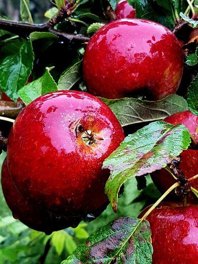 Mandelmanns AppleN Höstäpplen Healthy Eating Apples Autumn Colors Autumn Höstregn Red Red Apples Röda äpplen Höst Beauty In Nature