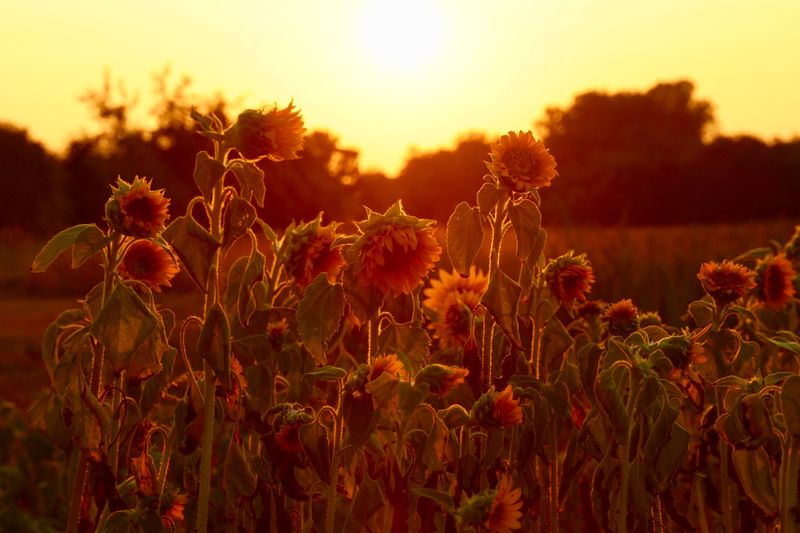 SUNFLOWERS Silence Positive Emotion Catchthemoment Canonphotography Canon Orange Color Red Gold Golden Hour Sunflower Plant Growth Beauty In Nature Sunset Sky Tranquility Field Nature Flowering Plant No People Flower Land Scenics - Nature Close-up Focus On Foreground Tranquil Scene Sunlight Fragility Freshness Outdoors