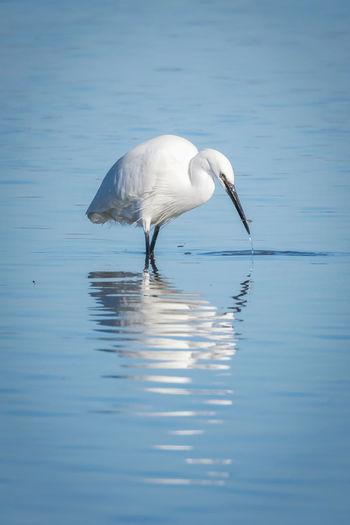 White egret in a lake
