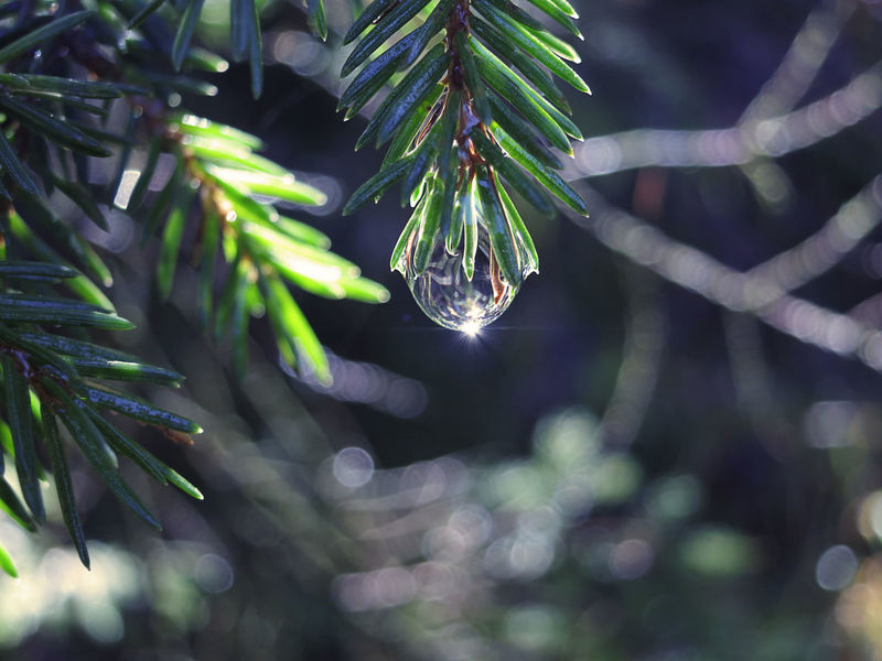 bright drop of water hanging on a fir branch Plant Tree Green Color No People Close-up Tranquility Drop Bright Water Preciuos Scenics Sun