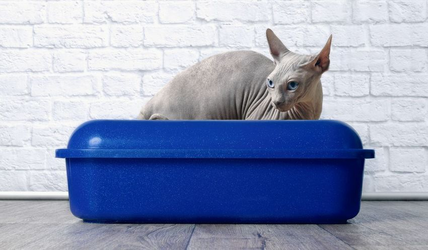 Sphynx cat sitting in a blue litter box. Litter Box Animal Themes Blue Blueeyedcat Brick Wall Cat Cat Litter Container Domestic Domestic Animals Domestic Cat Indoors  Mammal No People One Animal Pentax Pets Pooping Purebred Cat Sphynx Sphynx Cat Unhygienic Urinating Vertebrate Wall - Building Feature