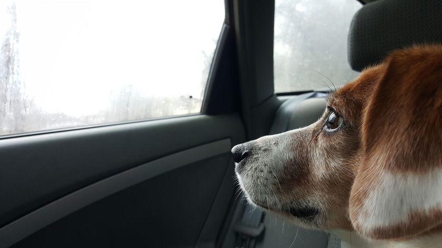 Close-up of dog looking through car window