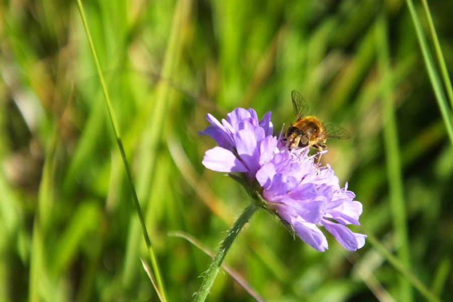 Countryside Wildflower Wildflowers Wild Flowers Flower Nectar Collecting Working Small Little Bee Bees Busy Little Bee Gathering The Crop
