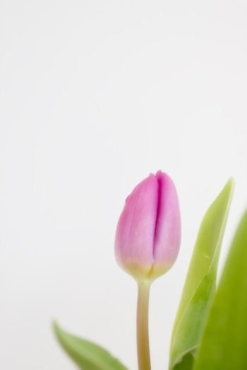Close-up of pink tulip against white background