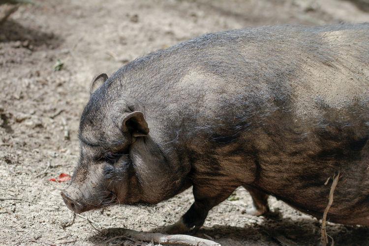High angle view of pig on land