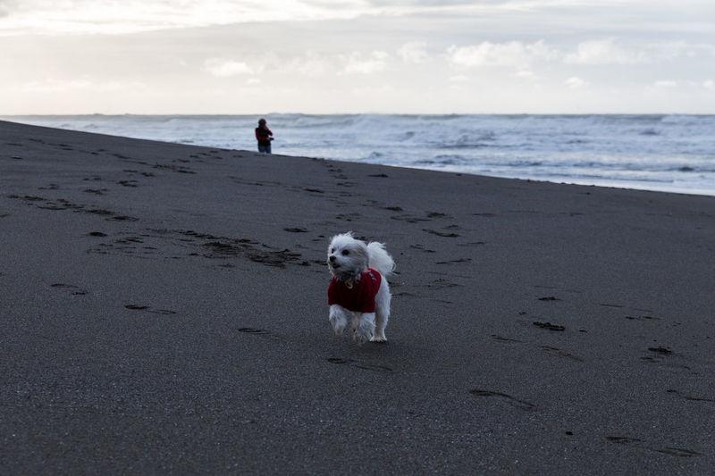 Winston on the beach, Oregon coast December 2014 Dogs Maltese Dog Beach Oregon Oregon Coast Running Dog Dog