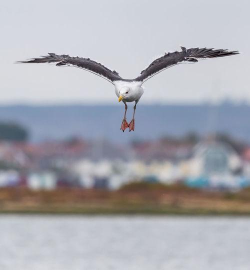 Gull Landing in