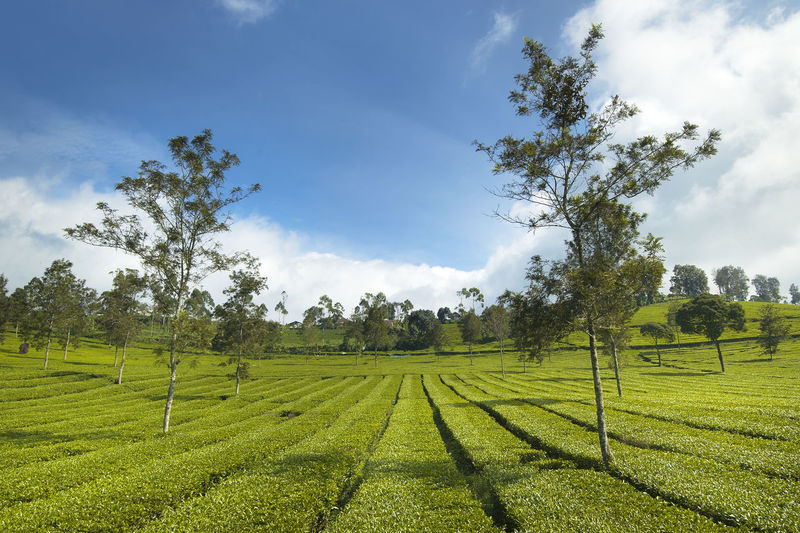 Pangalengan tea plantation Agriculture Beauty In Nature Blue Sky Day Field Green Green Color Landscape Landscape_photography Nature No People Outdoors Plantation Scenics Sky Tree