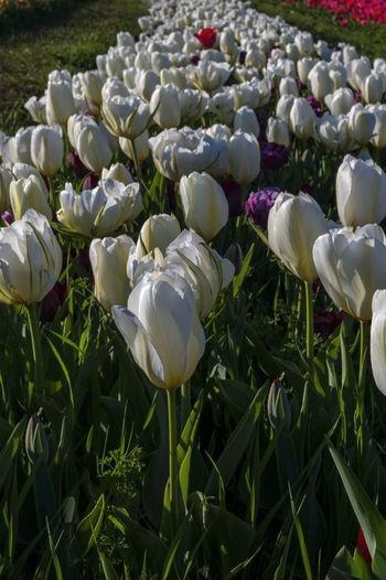 Tulips white