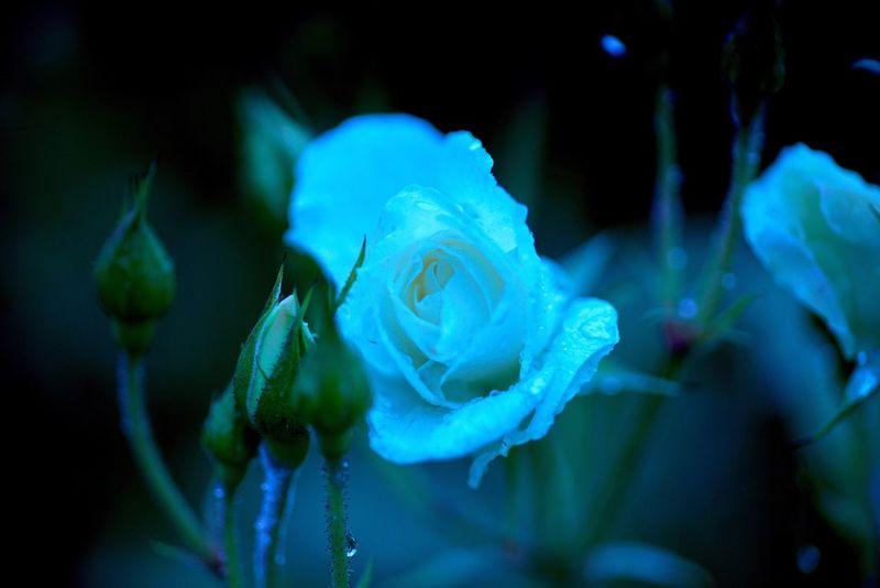 雨降りも意外といいかも、なんて思うようになった。 Roses Rose🌹 Rose Garden Cheese! Flower Fukuyama 福山 バラ祭り