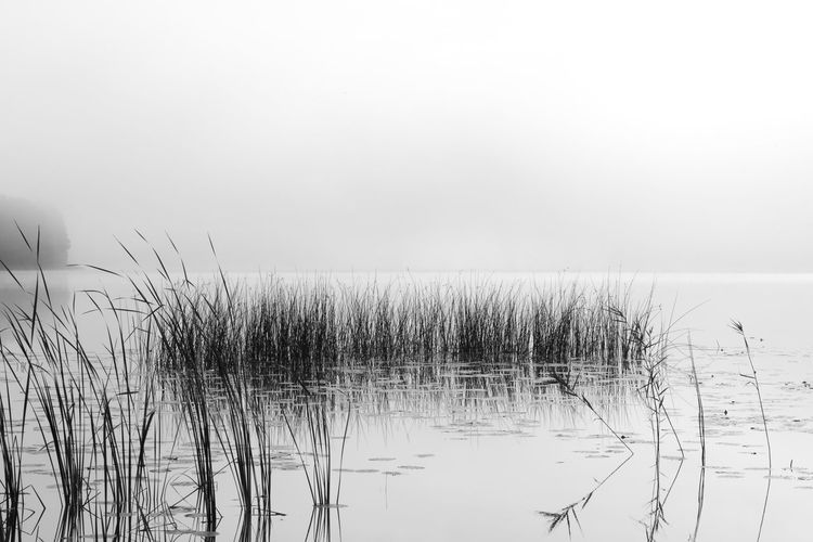Beautifull black misty morning at a lake with water joing sky at horizon in black and white Beauty In Nature Black & White Day Grass Growth Marram Grass Nature No People Outdoors Plant Reed - Grass Family Tranquil Scene Tranquility Water