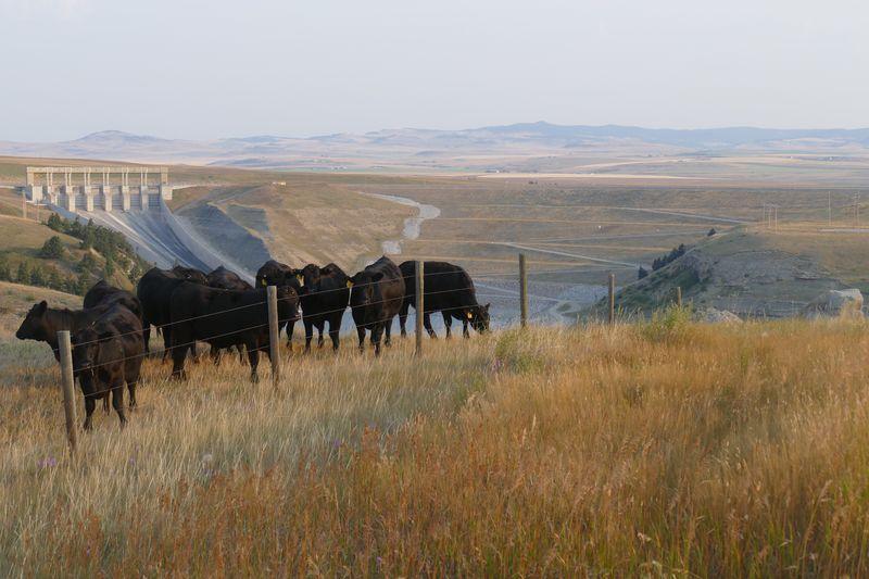 Dam cows. Tranquil Scene No People Domestic Animals Cattle Cows Cows In A Field Dam Scenics Landscape