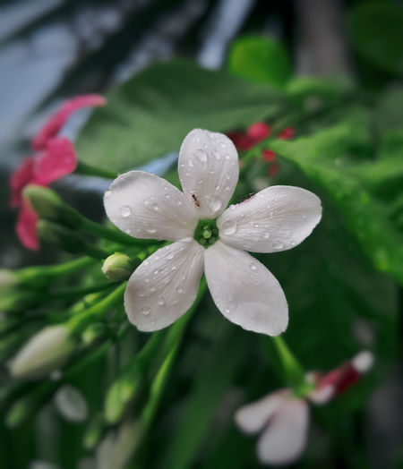 Rangoon Creeper Flowering Plant Flower Collection White Flower After The Rain Raindrops Garden Rainy Days Lovelyflowers Beauty In Nature Flowers,Plants & Garden Flowers, Nature And Beauty Flower Head Flower Leaf Springtime Close-up Plant Flowering Plant Plant Life Blossom Petal Pollen Dew Blooming In Bloom