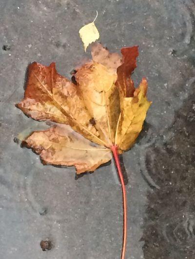 Кленовый лист в осенней луже кленовыйлист клён листья желтые Plant Part Leaf Autumn Change Dry Close-up High Angle View