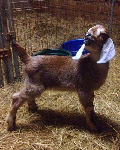 Farm Life Goat Life Goatfarm Goat Serenitygoats Baby Goats Serenitygoats