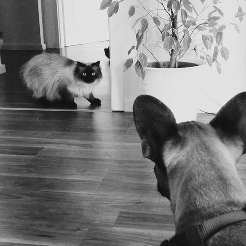 Showdown  Cat Meets Dog Cat Dog Ragdoll Cats Of EyeEm Dogs Of EyeEm