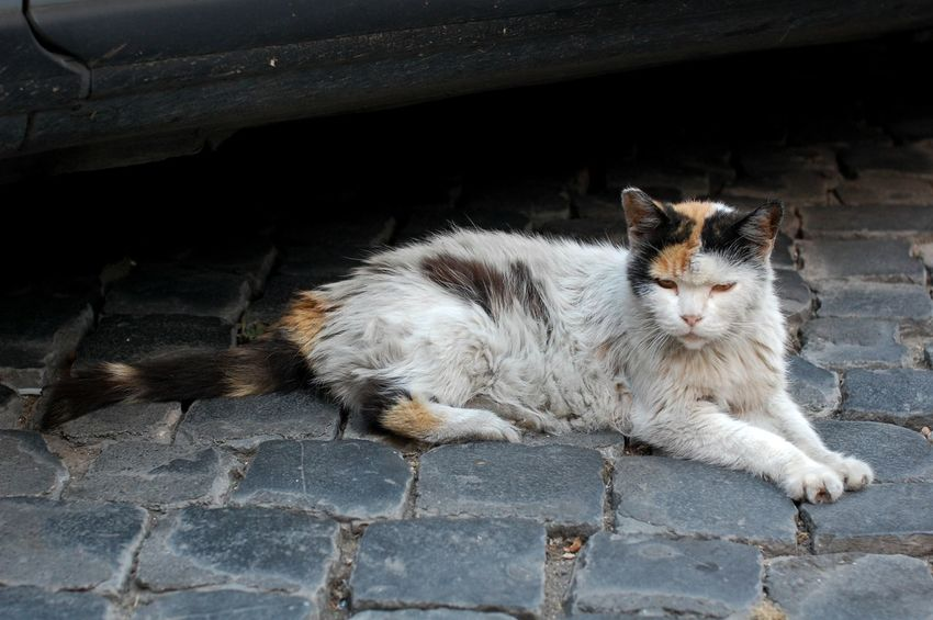 Homeless cat laying on the road Cat Domestic Animals Domestic Cat Homeless Cats Italy Laying Mammal Outdoors Pets Portrait Relaxation Road Rome Stone Street Whisker