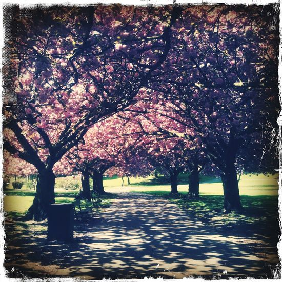 Taken in Valley Gardens, Pontefract Yorkshire Enjoying Life Relaxing Taking Photos England IPhoneography IPhone Tree Colours Trees Springtime Cherryblossoms Happiness Lifeisbeautiful Hello World Exercise Nature Makes Me Smile Everyday Joy Nature Hanging Out Life Taking Photos Sun Light And Shadow