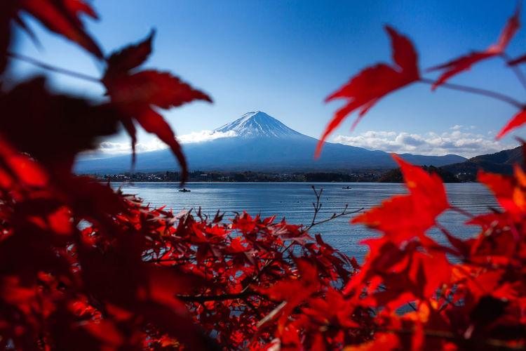 Autumn EyeEmNewHere Fujisan Japan Nature Relaxing Autumn Beauty In Nature Change Day Flower Focus On Background Leaf Maple Leaf Mountain Mountain Range Nature No People Outdoors Red Scenics - Nature Sky Snowcapped Mountain Tree Water