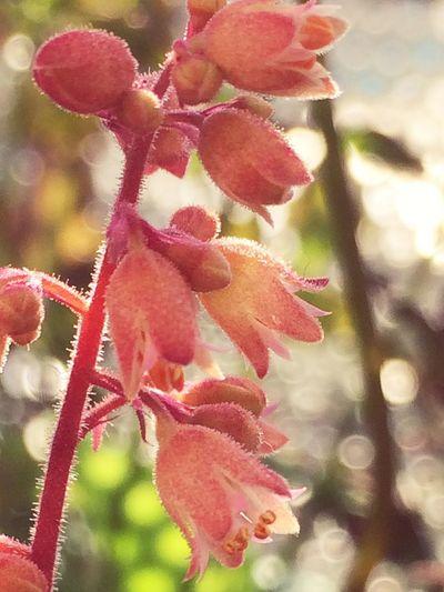 ヒューケラ Nature EyeEm Flower Nature_collection Flower Plants IPhoneography EyeEm Nature Lover