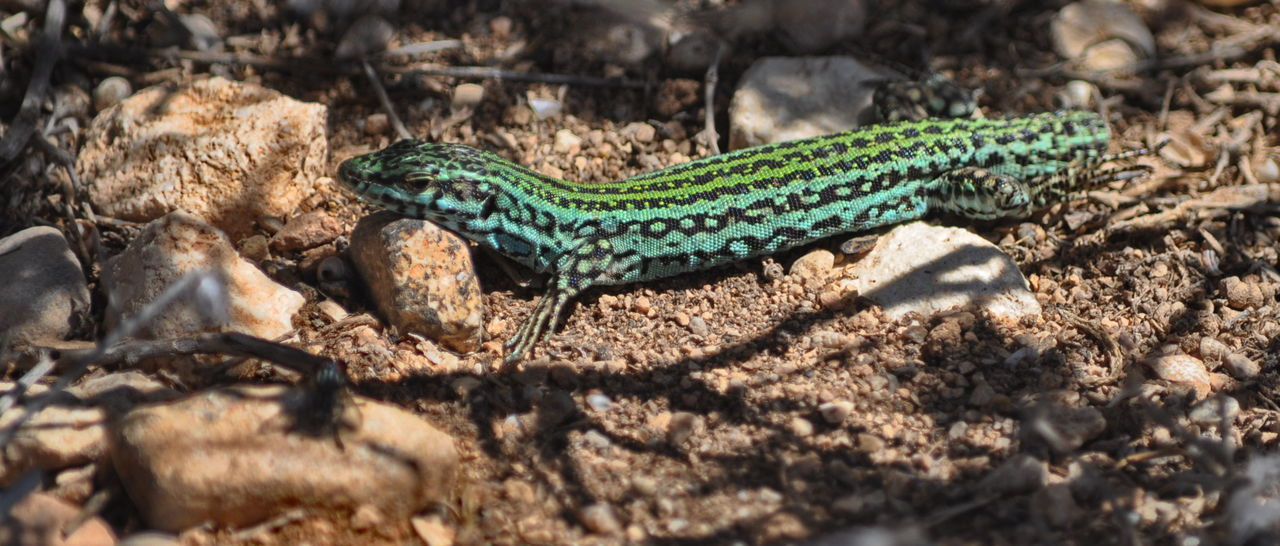 Amphibian Animal Balearic Islands Formentera Green Color Ground Lizard Nature No People No Tail Outdoors Wildlife Nature's Diversities Blue Color Animals In The Wild One Animal Animal Themes Reptile Animal Wildlife Day Close-up