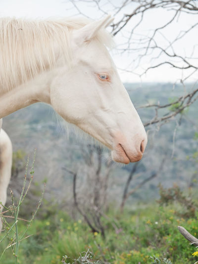 albin half-wild horse Animal Body Part Animal Head  Animal Themes Animals In The Wild Beauty In Nature Close-up Creamello Day Domestic Animals Half-wild Horse Livestock Mammal Nature No People One Animal Outdoors Pasture Portrait Wild