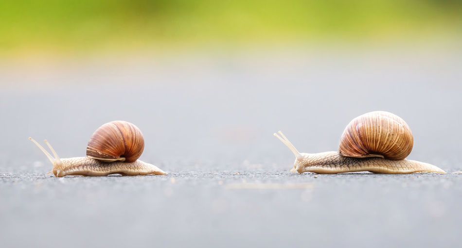Animal Animal Wildlife Brown Close Up Close-up Competition Day Fragility Horizontal Macro Nature Outdoors Race Racing Slow Snail Snails Two