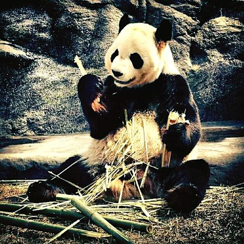 A Panda A Toronto Zoo PANDA ♡♡ IlovePandas They Are My Favorite Toronto Zoo Bamboo Eating Bamboo Eye4photography  EyeEm Best Shots