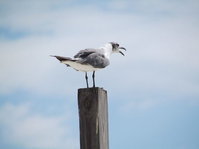 A lone seagull rests on a pier post. Pier Animal Themes Animal Wildlife Animals In The Wild Bird Close-up Day Dock Full Length Gull Nature No People Ocean One Animal Outdoors Perching Sea Seagull Sky Standing Wood - Material Wooden Post