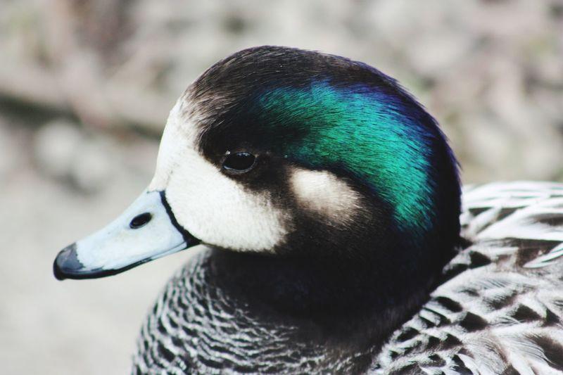 Duck Colours
