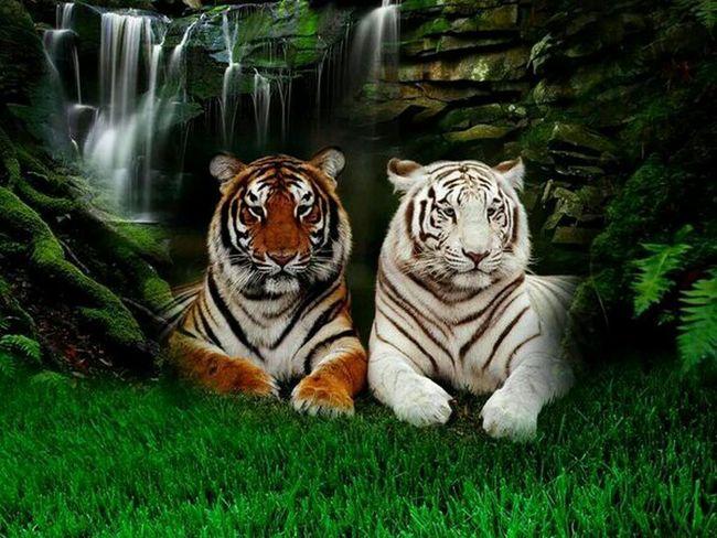 So beautiful tigers Beautiful Animals  Wildlife Wildnature Follow4follow Beautiful Amazing Photo Tigers Tagsforlikes