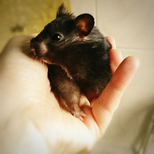 My Little Hamster!!! Hamsters Hamster Love My Hamster Hamstertime Hamstergram Cute Lovely EyeEm Photography Eyemphotography Photo Beautiful Black