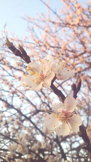 Peachtree Flower Spring Newlife Peach Hungary