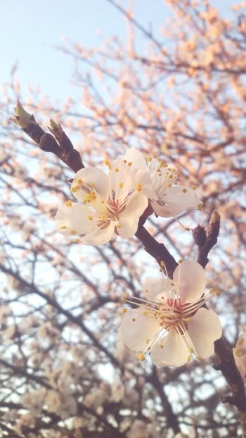 Peachtree Flower Spring Newlife Peach Hungary