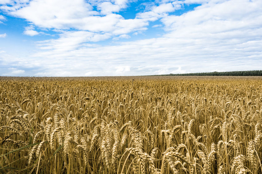 Wheat Agriculture Beauty In Nature Cereal Plant Cloud - Sky Farm Field Growth Landscape Nature No People Outdoors Rural Scene Sky Tranquility Wheat