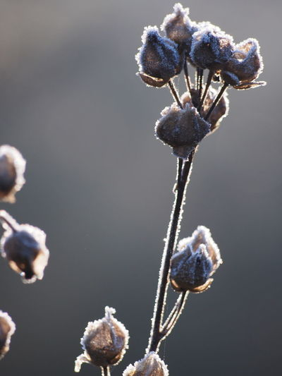 Close-up of frozen wilted plant