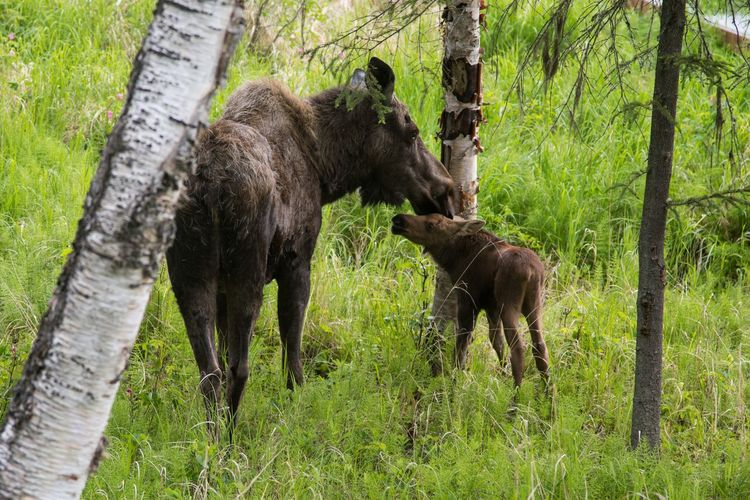 Animal Themes Young Animal Tree Trunk Zoology Outdoors Moose