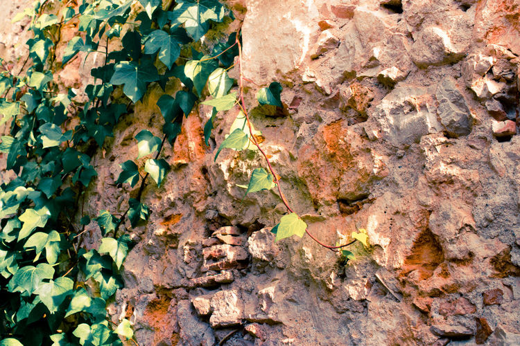 Close-Up Of Ivy Plant On Stone Wall
