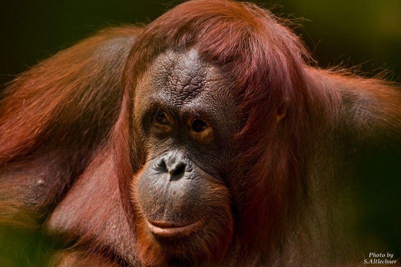 Animal Ape Brown KrefelderZoo Monkey One Animal Orang Utan Primate Wildlife Zoo EyeEm Foto EyeEm Nature Lover